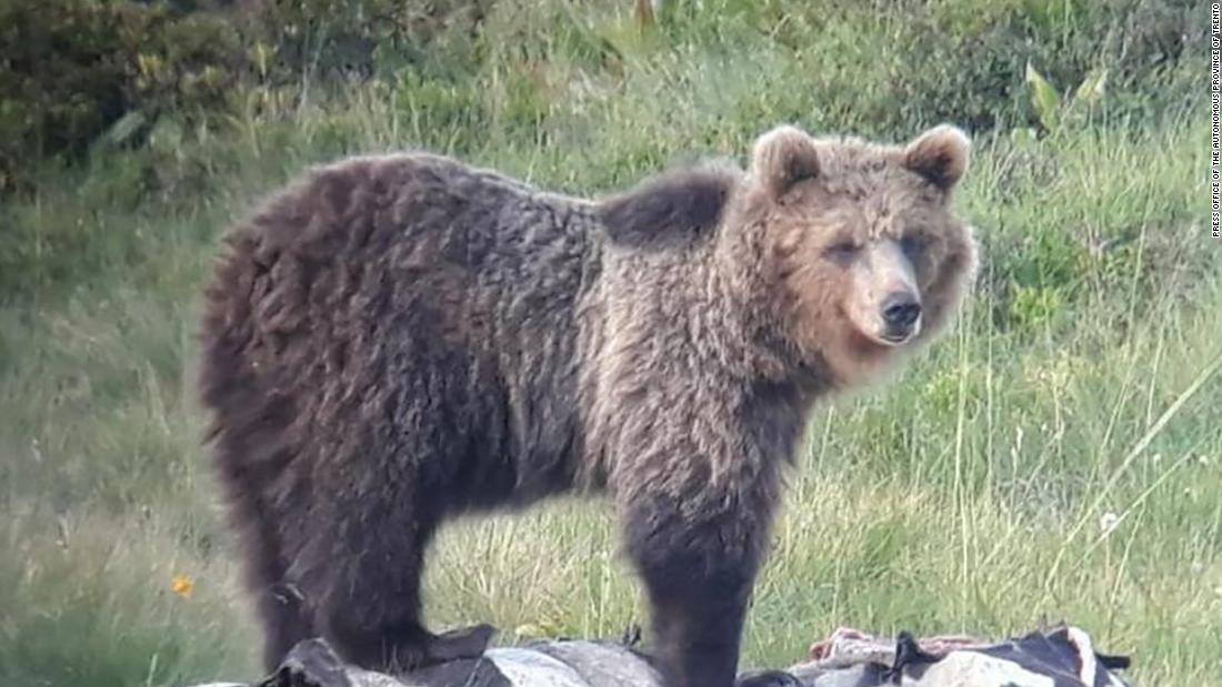 Bear nicknamed 'Papillon' escapes from enclosure in Italy -- again