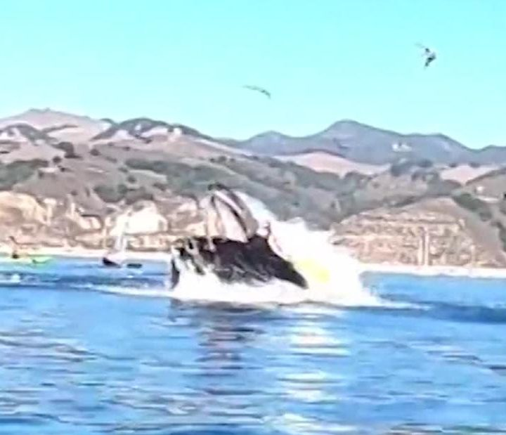 Avila Beach: A humpback whale almost swallows California kayakers